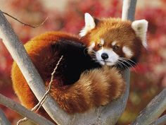 Baby Red Panda Facts History : Red Pandas are reddish-brown in color with busy tails.Red Pandas are herbivores meaning they do not eat meat. Animals And Pets, Baby Animals, Funny Animals, Cute Animals, Wild Animals, Beautiful Creatures, Animals Beautiful, Photo Panda, Panda Mignon