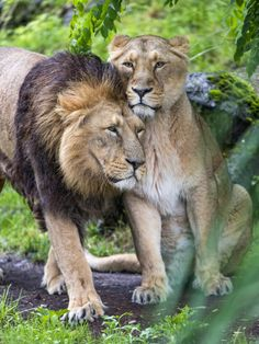Cuddling lions by Tambako the Jaguar A cute photo of Radja walking by and snuggling one of his daughters on her face