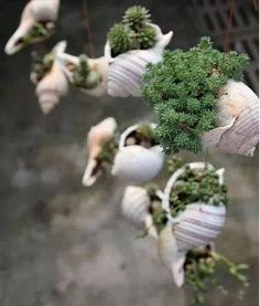 How to use seashells to plant succulents, all you need to know about seashell succulent planter is well explained here. A fresh summer home decoration. Seashell Projects, Seashell Crafts, Beach Crafts, Seashell Art, Cacti And Succulents, Planting Succulents, Succulent Planters, Succulent Decorations, Shell Decorations