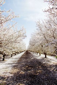 Almond tree blossoms in southern California