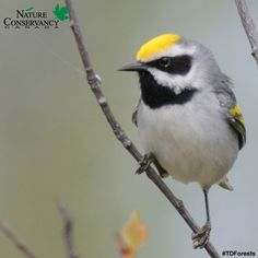 #ForestFriday: Discover forest conservation with NCC and TD Forests!  This week's forest type is the Aspen Parkland.  The Aspen Parkland contains the northernmost breeding distribution for many warbler species and shelters some of the most productive and extensive waterfowl breeding habitat on the continent. (Golden-winged warbler, photo by Christian Artuso)