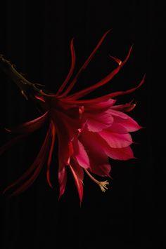 Epiphyllum by Takashi Suzuki