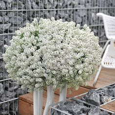Lobularia 'YOLO White' -Commonly called sweet alyssum, lobularia is a cold-tolerant annual flower that has always played an important role in spring and fall gardens. But, with the introduction of 'YOLO White' lobularia everything has changed. This little flower factory is heat-tolerant and will fill your borders and containers with fragrant flowers through the hottest days of summer. Name: Lobularia 'YOLO White'