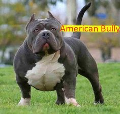 American Bully. A comment from a user called *Rossana:  As beautiful as the bullies are, they are being bred to have a wider and wider gate, and this is going to cause these poor dogs a lot of joint, especially shoulder, problems because the weight of the dog is having to be held on these joints. They are beautiful dogs, but encouraging the wide chest with the wide stance, is harmful and will become painful for the dog as it ages.