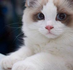 Ragdoll kitten, Seal bicolore !