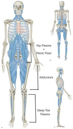 Here's a good place to start: Breathing Rolling Crawling Train Movements, Not Muscles Lift Heavy Sh*t With Great . Yoga Anatomy, Human Anatomy, Fascia Stretching, Psoas Release, Muscle Anatomy, Back Exercises, Pelvic Floor, Lift Heavy, Anatomy And Physiology