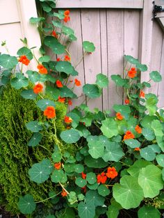 "Nasturtium. This one is Renee's Garden ""Spitfire"" (Heirloom), available from PVFS/ groworganic.com ."