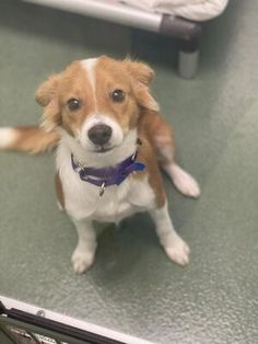 West Palm Beach, FL - Labrador Retriever. Meet VIN a Pet for Adoption.