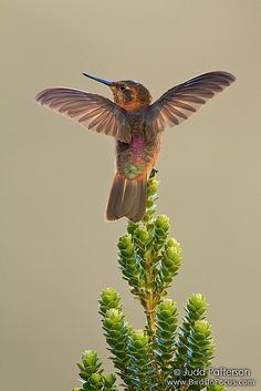 ~~Shining Sunbeam hummingbird by Judd Patterson~~