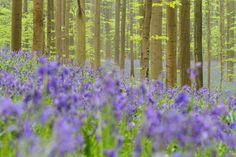 Hallerbos 2011 - Hyacinthoides non-scripta - Common Bluebell - Boshyacint - Wilde hyacint