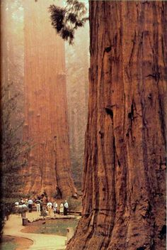 Coast Redwood trees (Sequoia sempervirens), Big Sur, California