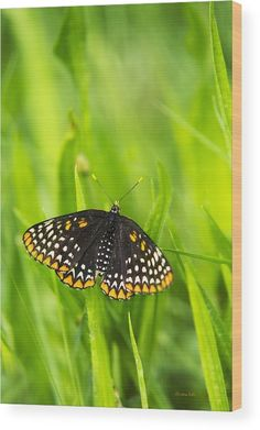 Baltimore Checkerspot Butterfly Wood Print by Christina Rollo.  All wood prints are professionally printed, packaged, and shipped within 3 - 4 business days and delivered ready-to-hang on your wall. Choose from multiple sizes and mounting options.