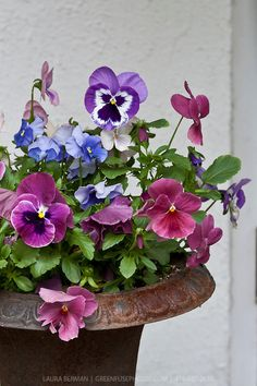 Purple and pink pansies in a cast iron urn.