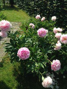 Pæon (Sarah Bernhardt) Vidunderligt smukke :)