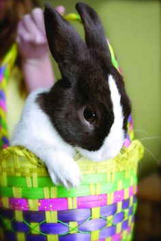 The Dutch rabbit is one of the oldest domestic rabbit breeds. Bunny Paws, Cute Baby Bunnies, Funny Bunnies, Bunny Rabbit, Cute Babies, Animals And Pets, Baby Animals, Cute Animals, Rabbit Breeds