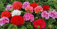 Learn to properly care for flowers! To ensure that geraniums all year round blossomed in full color, did not wither and did not permanently discard the yellowi Geranium Plant, Geranium Flower, Amazing Flowers, Love Flowers, Outdoor Plants, Garden Plants, Amaryllis Bulbs, Red Geraniums, Indoor Flowers