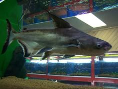 """Also known as """"Iridescent Sharks"""", these freshwater fish are really in the catfish family."""