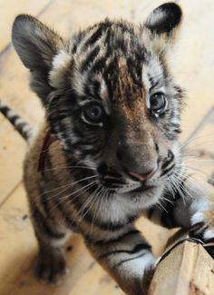 Baby Tiger | newly born south china baby tiger is seen in