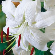 Lilium speciosum 'Album' Old Favorite Lily
