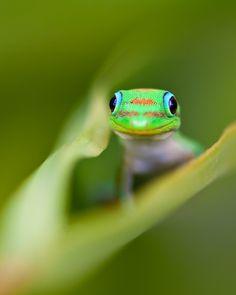 curious gekko i like animals alot.