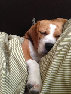 Hard Life of a Beagle [Xula] by Urízar