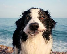 Surfs up Border Collie...looks like Shelby...:-) http://www.pinterest.com/guidedogs/group-border-collies-best-dog-breed-ever/