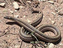 Iowa Lined Snake