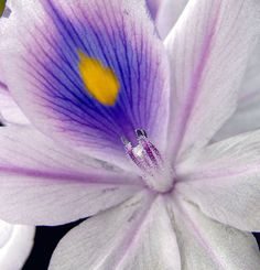 Water Hyacinth, via Flickr.