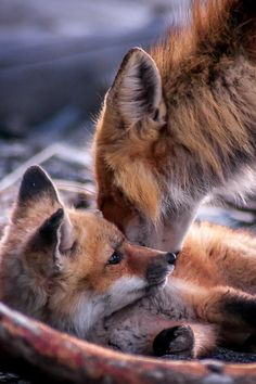 Red Foxes by Jean.Frs Bouchard