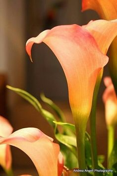 Items similar to Calla Lilies. Matted fine art photograph on Etsy Exotic Flowers, Amazing Flowers, Colorful Flowers, Beautiful Flowers, Agaves, Calla Lily Flowers, Zantedeschia, Mother Nature, Flower Art
