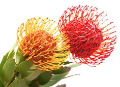 Pincushion Protea. COLORS: red, yellow SEASON: August to October SCENT: none COST: $$$$ MEANING: strenght, diversity, courage, transformation. #jardinfd #weddingflowers #florist All Flowers, Wedding Flowers, Australian Wildflowers, Summer Solstice, Flowering Trees, Native Plants, Orange, Yellow, Pin Cushions
