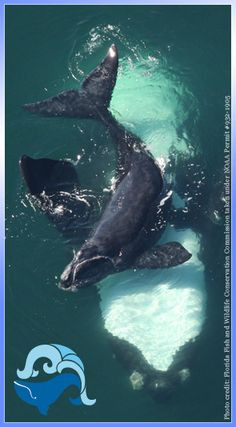 Upside down Right Whale mom with new calf!!