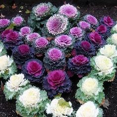 Ornamental Cabbage Seeds (Brassica Oleracea) 100+Seeds - Under The Sun Seeds - 3