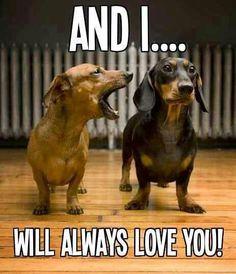 Hahaha!!!!! @Zack Curry Walker #doxie #doxies #dachshund #wiener #wienerdog #wienerlove #dachshunds #dachshundlove #dachshundworld #dachshundlife #dachshund's #dachshundpuppy #sausagedog #funnydachshund #cutedachshund #minidachshund #ilovedoxie #ilovedachshund #ilovesausagedog