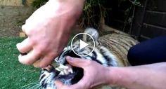 Usa Alicate Para Arrancar Dente a Tigre Sem Usar Anestesia
