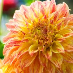 'El Sol' Dahlia - height 4.5ft