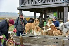 Sheep Dogs, Doggies, Dogs And Puppies, Scotch Collie, Rough Collie, Weimaraner, Sheltie, My Animal, Livestock