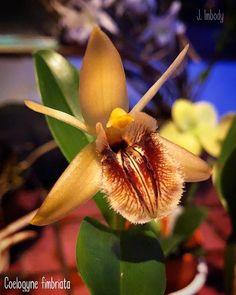 Coelogyne fimbriata (at Saranac Lake, New York)