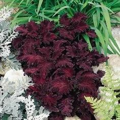 The ' Black Dragon' Coleus Plant is more shade-loving than most, having remarkable color even when the sunshine is limited.
