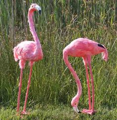 Set Of 2 Life Size Artificial Feathered Pink Flamingos