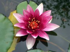 Learn how to grow water lilies in a bowl with this easy to follow video tutorial. You'll love to add a touch of serenity to your home.