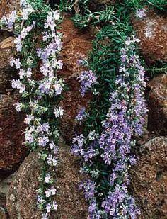 Cascading Rosemary