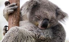 PLEASE SIGN THIS PETITION AND HELP KOALAS!!! Without Your Help, Koalas Could Lose Habitat to Developers and Become Extinct  Read more: http://www.care2.com/causes/without-your-help-koalas-could-lose-habitat-to-developers-and-become-extinct.html#ixzz3Fw2o6aI0 http://www.care2.com/causes/without-your-help-koalas-could-lose-habitat-to-developers-and-become-extinct.html