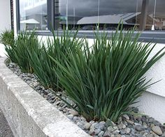 LITTLE REV™ Dianella has great architectural form with compact blue-grey foliage, it is a very hardy plant and is perfect for modern landscapes Modern Landscaping, Outdoor Landscaping, Front Yard Landscaping, Facts About Plants, Bonsai, Small Purple Flowers, Little Gardens, Low Maintenance Plants, Gardens