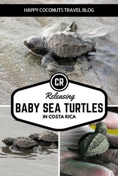 Releasing baby sea turtles into the ocean in Costa Rica |  Baby Sea Turtle Rescue |  Animals of Costa Rica |  Activities in Costa Rica |  Adventures in Costa Rica |  Vacation in Costa Rica |  Travel to Costa Rica |  Things to do in Costa Rica |  Playa Tortuga, Costa Rica |  Reserva Tortuga |  Olive Ridley Sea Turtles |