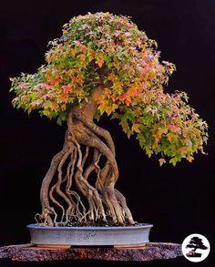 4813 Best Beautiful Bonsai Ikebana Images Bonsai Plants Bonsai