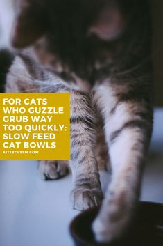 A lot of cats struggle to pace themselves with eating, so if this is a problem you're currently trying to tackle with your pet, know that you're definitely not alone. I've written about a number of different ways you can get a cat to slow down quick eating before, but by far the easiest and most effective method is to invest in a slow feeder cat … Slow Feeder, Cat Feeder, Cat Behavior Problems, Cat Hacks, Lots Of Cats, Pet Care Tips, Cat Grooming, Cat Food, Training Tips