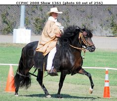 Peruvian Paso Horse at a California Peruvian Horse show.  More photos available from the website.