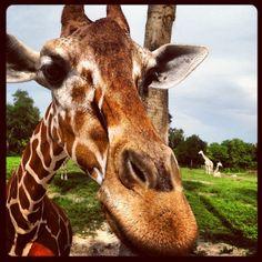 Had so much fun feeding the giraffes. Florida Vacation, Vacation Spots, Busch Gardens Tampa Bay, Courtyards, Sea World, Giraffes, My Animal, Animal Kingdom, Vacations