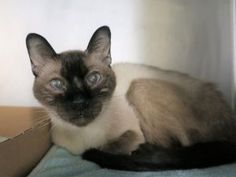 ***TO BE DESTROYED 10/28/17*** BEGINNER RATED SWEET AND AFFECTIONATE MERCY WANTS TO BE YOUR NEW BEST FRIEND!! BUT SHE NEEDS FOLLOW UP MEDICAL! 10 year old MERCY was dumped at the shelter rather than taken to a vet. Her owner claims he had her for 7 years and now is sick, vomiting and has blood in her stool. Yet rather than seeking vet care, now poor Mercy is at the mercy of the kill shelter. she sits in her kennel and meows constantly - wondering what she did to deserve this. ...